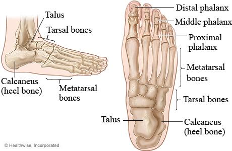 Gambar anatomi tulang jari kaki