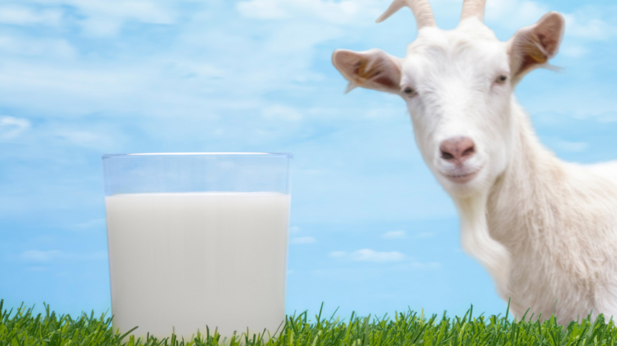 Manfaat susu kambing untuk bayi berpotensi bisa dicerna oleh anak 1 tahun ke atas dengan intoleransi laktosa ringan