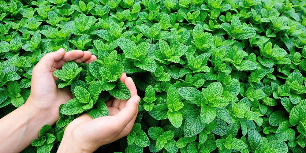 Daun mint merupakan salah satu makanan penghilang rasa mual
