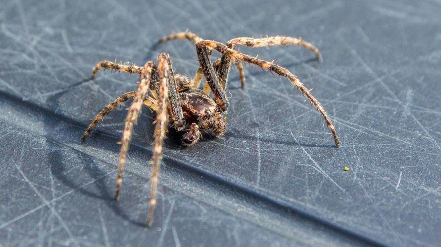 Laba-laba rumah