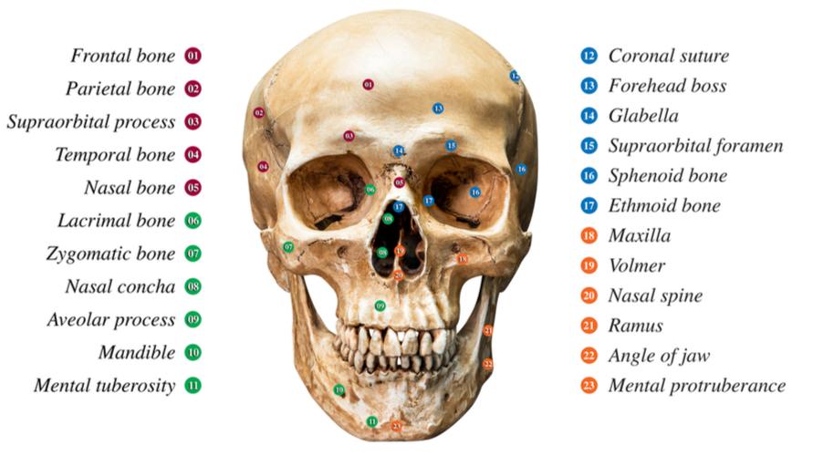 Tulang tengkorak berfungsi membentuk wajah dan melindungi otak