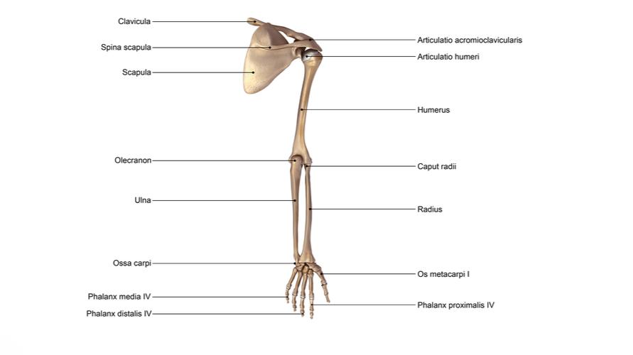 Struktur tulang ekstremitas atas menghubungkan dengan tulang axial dan mengatur tungkai bawah