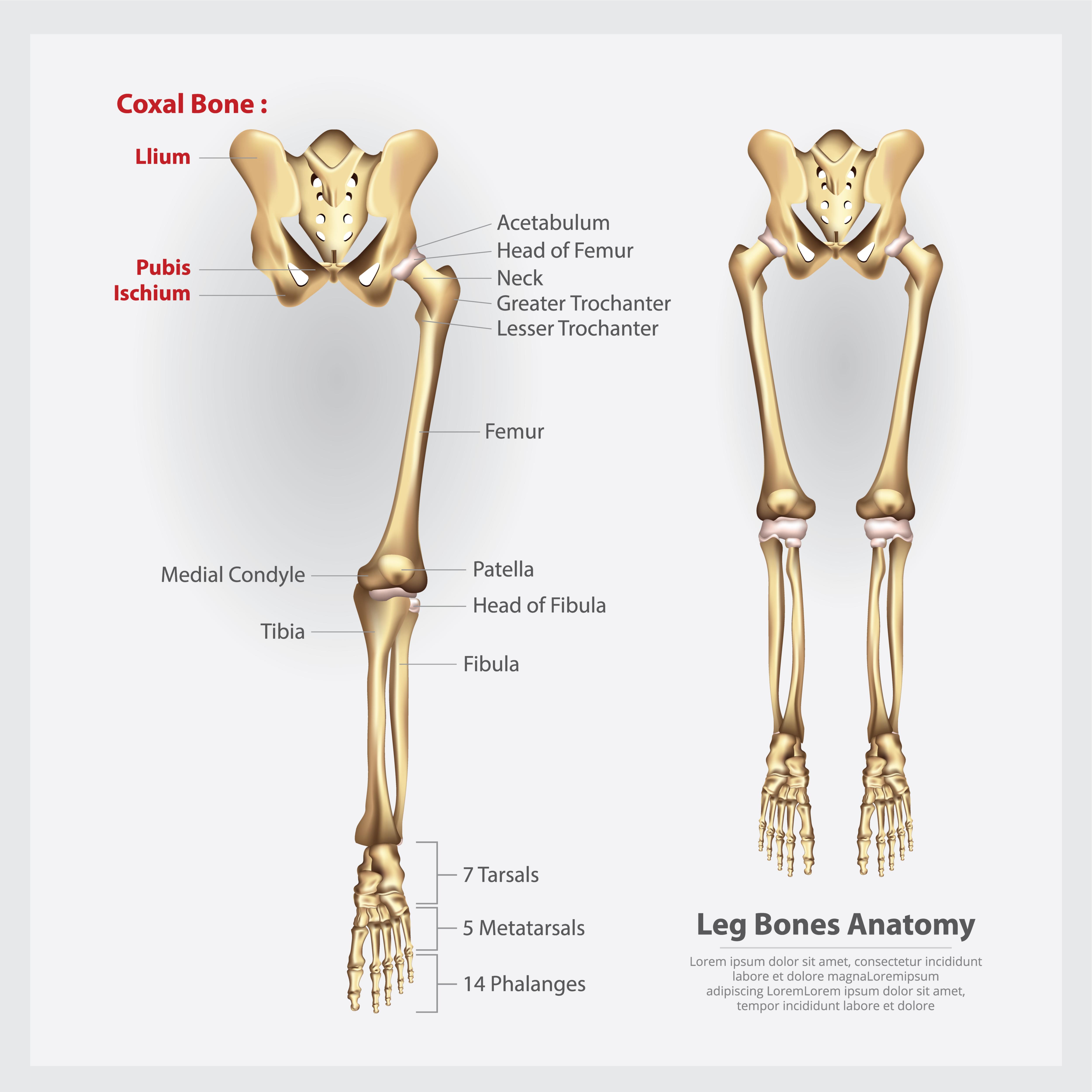 Tulang ekstremitas bawah *tungkai bawah) dimulai dari panggung hingga telapak kaki