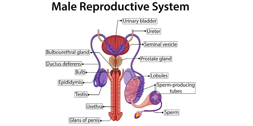 10 Organ Reproduksi Laki Laki Dan Fungsinya Ini Wajib Diketahui