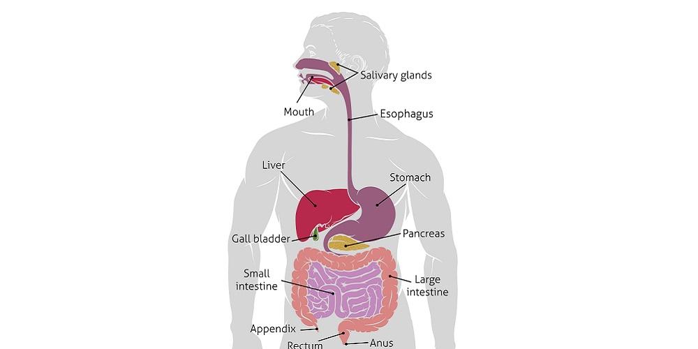 11 Organ Dalam Sistem Pencernaan Manusia Dan Cara Kerjanya Secara Rinci