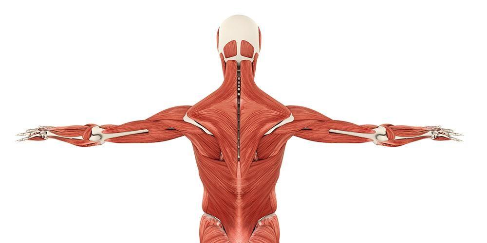 10 Fungsi Jaringan Otot Serta Jenis Jenisnya