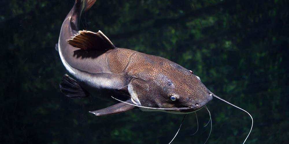 Alih-alih ikan asin, ikan yang dianjurkan untuk ibu hamil adalah ikan lele