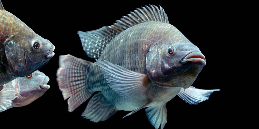 mujair adalah ikan yang bagus untuk MPASIkaya zat besi dan vitamin A.