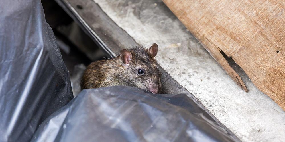 Tikus sering menjadi pembawa leptospirosis