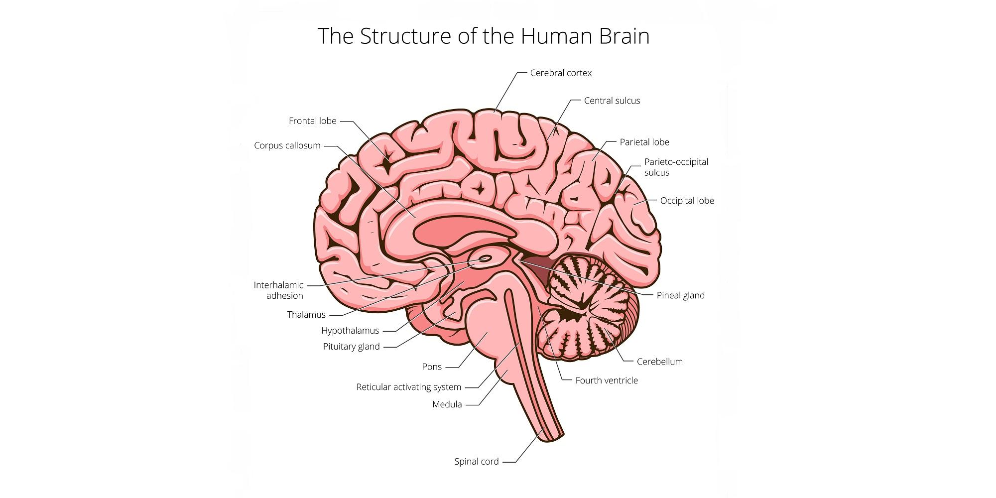 Gambar bagian-bagian otak manusia atau anatomi otak manusia