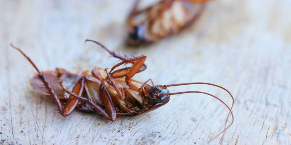Bahaya kecoa mengintai penghuni rumah