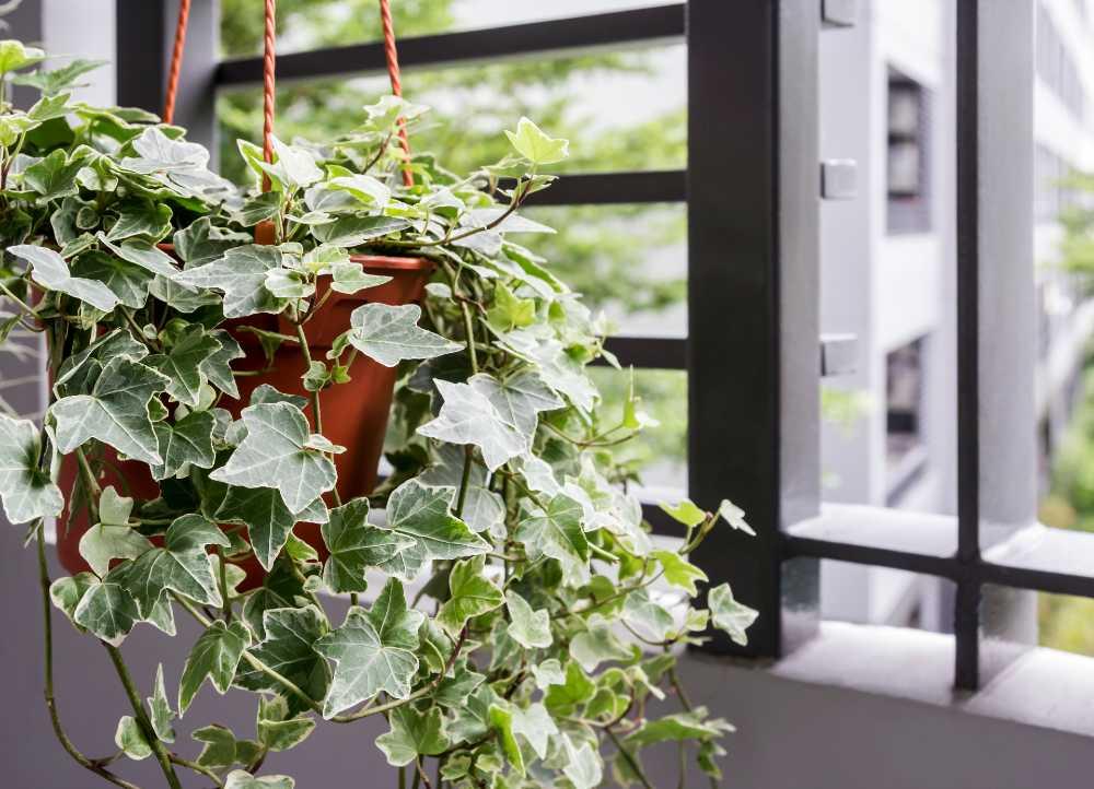 English ivy adalah salah satu tanaman yang cocok berada di dalam ruangan