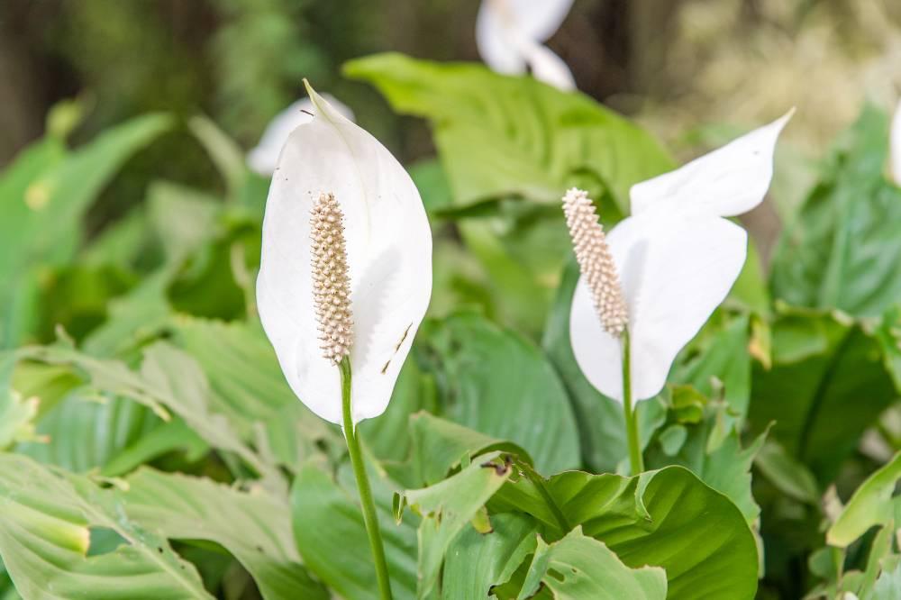 Peace lily adalah salah satu jenis tanaman yang dapat menyaring racun
