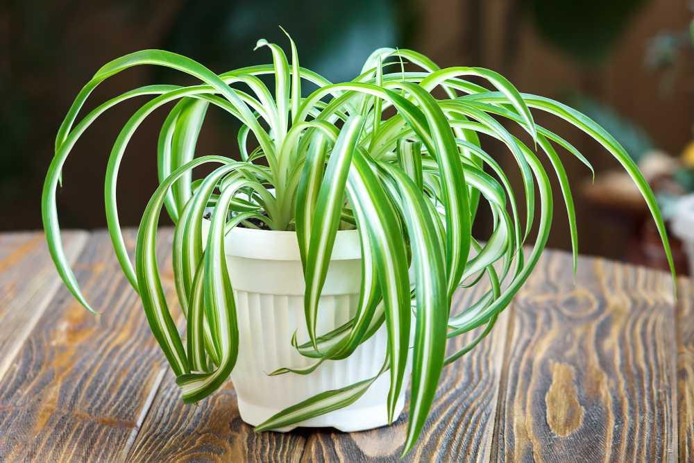 Salah satu tanaman penyerap debu adalah spider plant