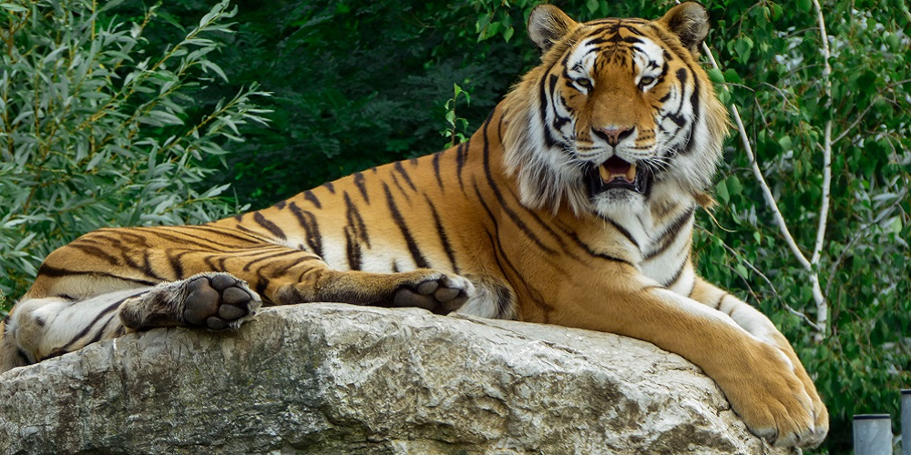 Ditemukan harimau positif Covid-19 di New York, Amerika Serikat