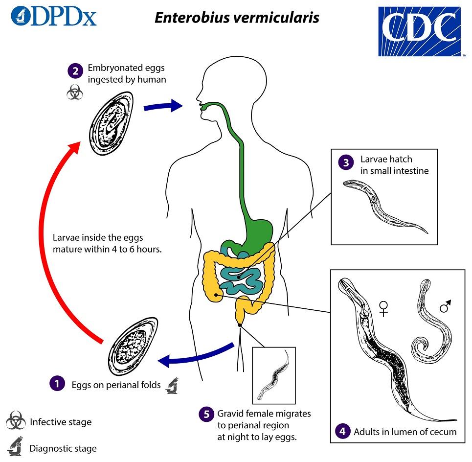 Gambar siklus hidup cacing kremi (sumber: CDC)