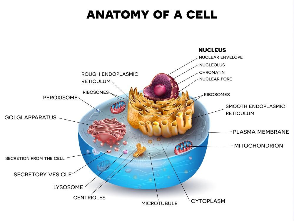 Struktur organel sel secara lengkap
