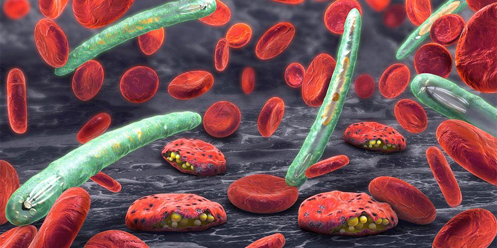 Biji buah duku mampu mencegah parasit penyebab malaria