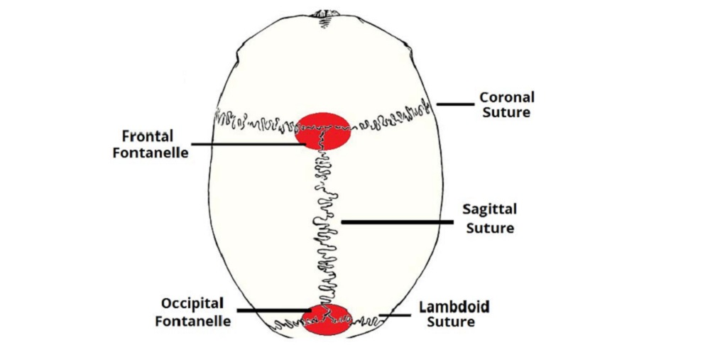 Gambar sutura tulang tengkorak