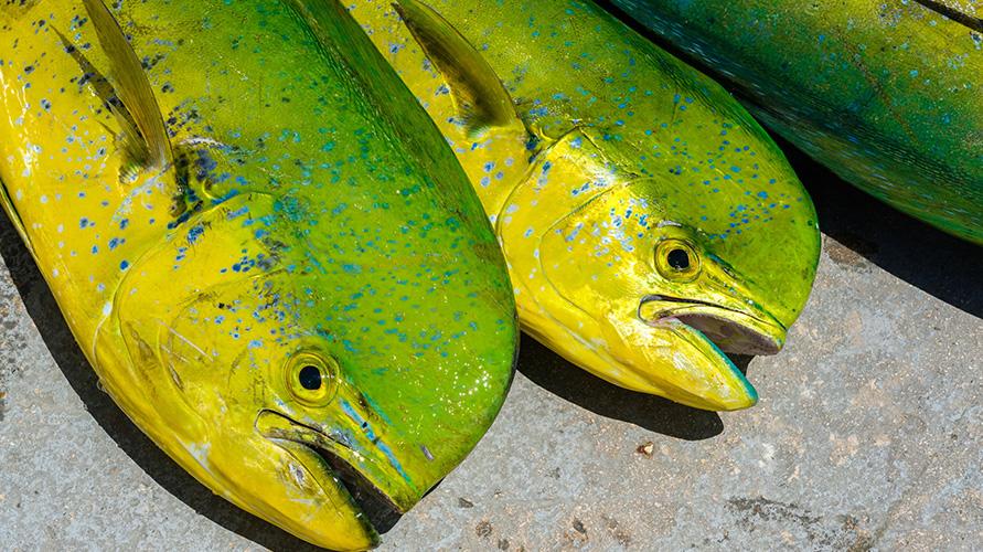 ikan mahi-mahi