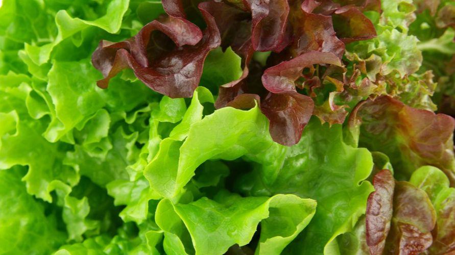 Selada merah memiliki banyak vitamin dan mineral