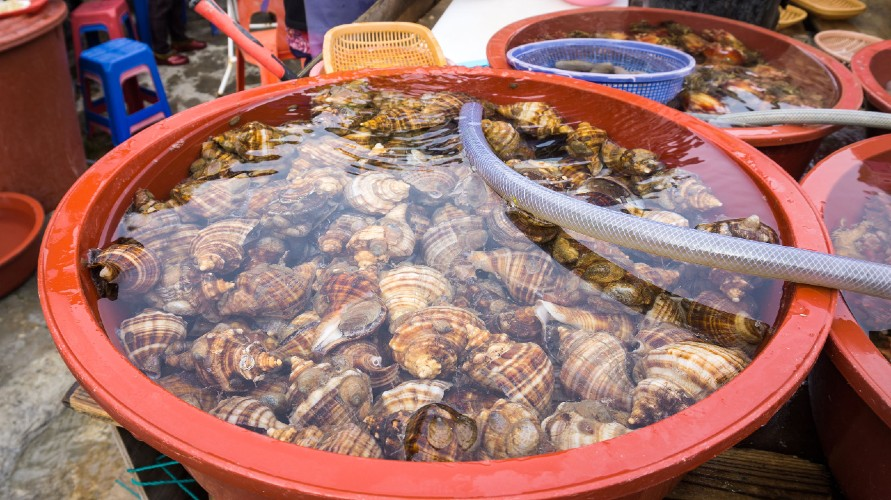 Abalone hidup