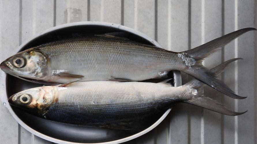 Bandengadalah ikan yang bagus untuk MPASI karena kaya DHA dan protein.