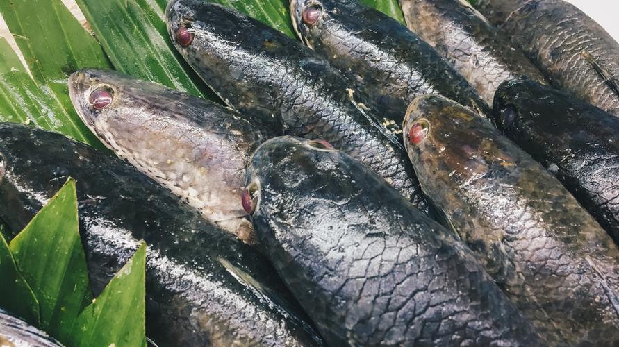 Ikan gabus adalah ikan yang bagus untuk MPASI karena kaya albumin