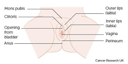 Gambar vagina normal (sumber foto: Cancer Research UK)