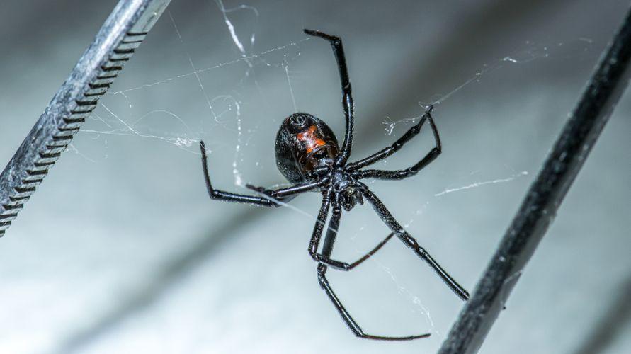 Laba-laba janda hitam