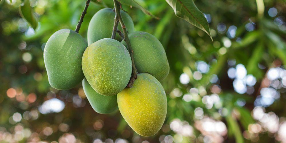 Tak hanya buahnya, manfaat kulit mangga pun perlu dipertimbangkan