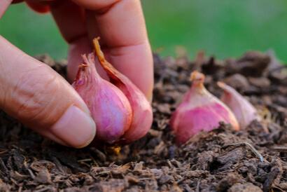 Cara menanam bawang merah di pot tidak sesulit di pekarangan