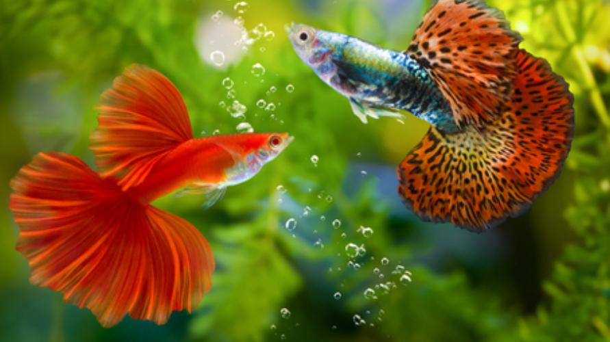 ikan gupi termasuk dalam golongan ikan pemakan jentik nyamuk