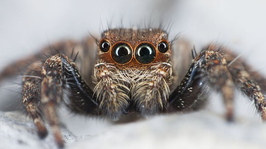 Laba-laba pelompat