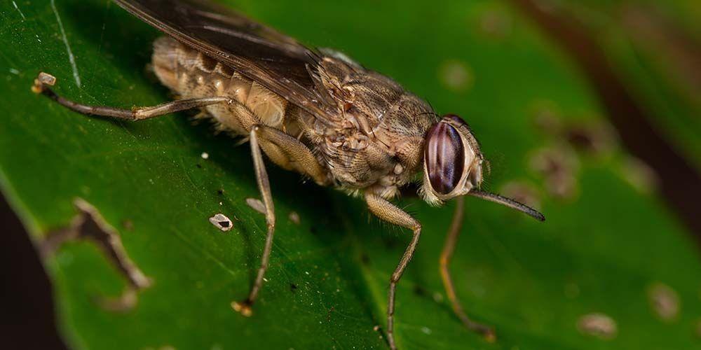 Lalat tsetse pembawa parasit yang menyebabkan penyakit tidur