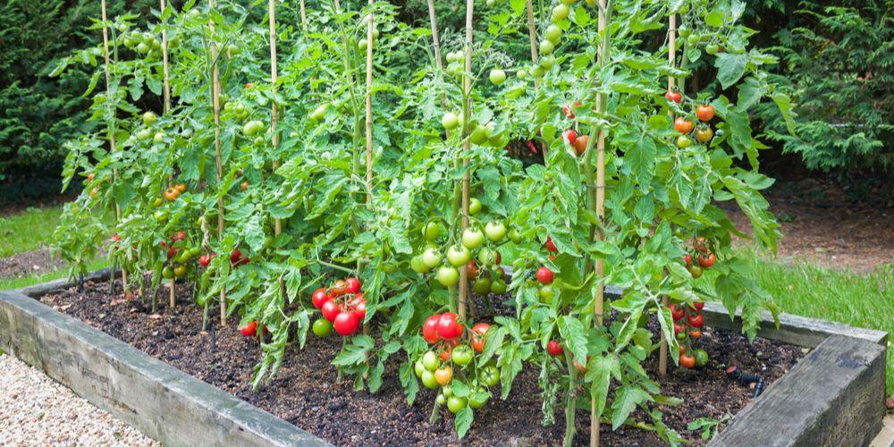 Cara menanam tomat di lahan dengan baik agar berbuah lebat