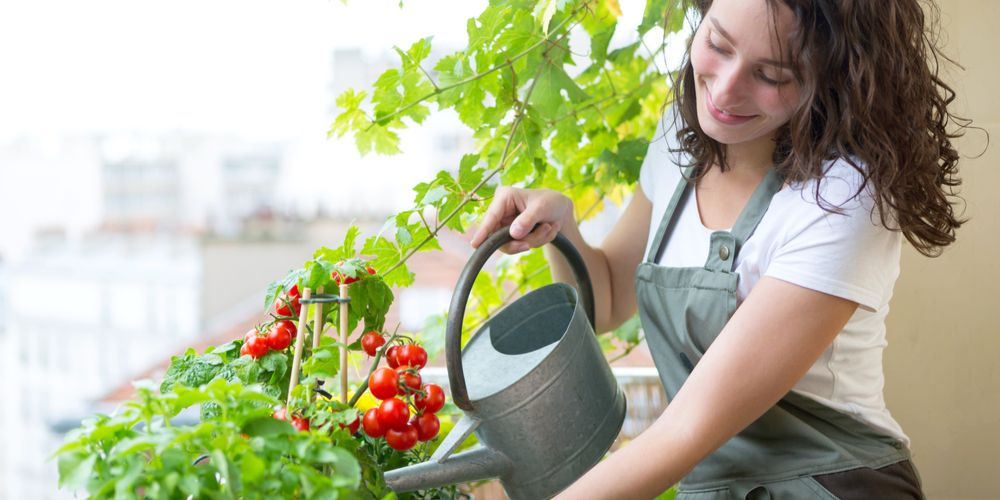 Cara merawat tanaman tomat dengan baik