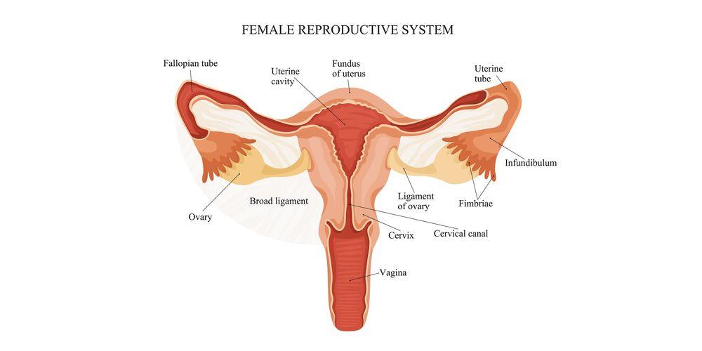 Gambar Anatomi Organ Reproduksi Wanita