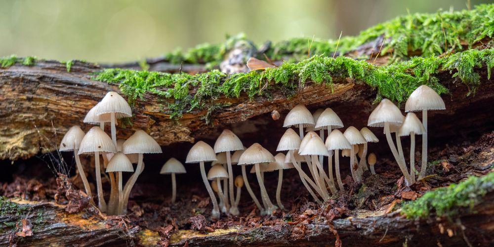Ciri-ciri fungi adalah tidak punya klorofil dan eukariotik