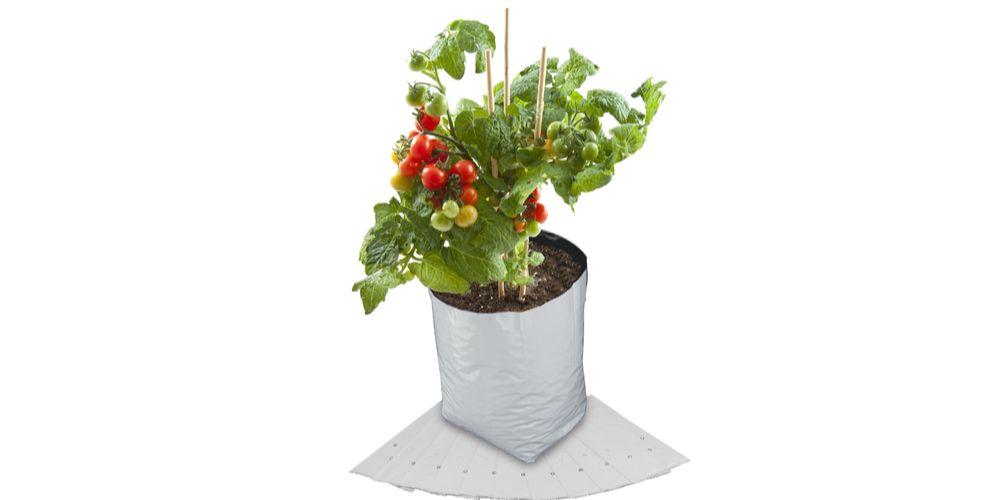 Cara menanam tomat di polybag agar sukses panen