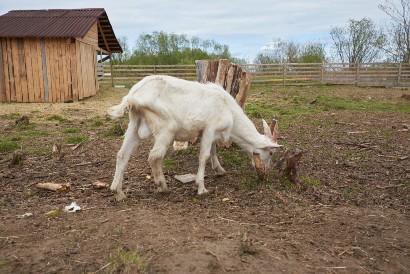 Virus nipah bisa menyebar ke hewan ternak lain seperti kambing dan domba